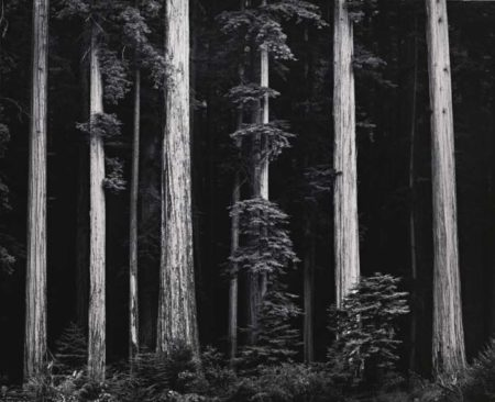 Ansel Adams-Redwoods Bull Creek Flat Northern California-1960