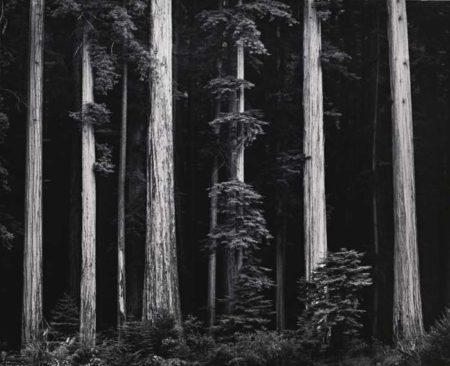 Redwoods Bull Creek Flat Northern California-1960