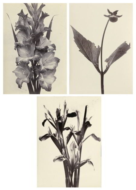 Charles Jones-Selected Botanical Studies ('Gladiolus', 'Iris Reticulata', and 'A Dahlia Shoot After Disbudding')-1900