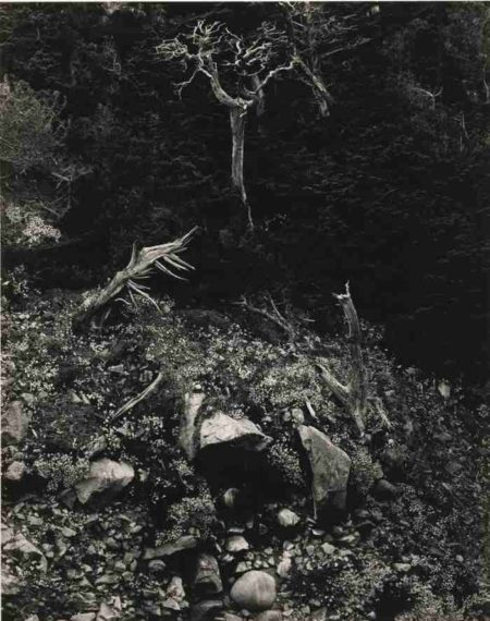 Edward Weston-Cypress And Stone Crop Point Lobos-1946