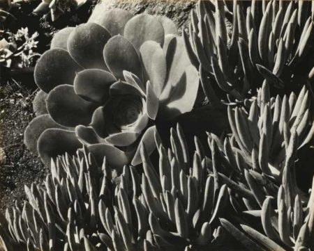 Edward Weston-Succulents-1930