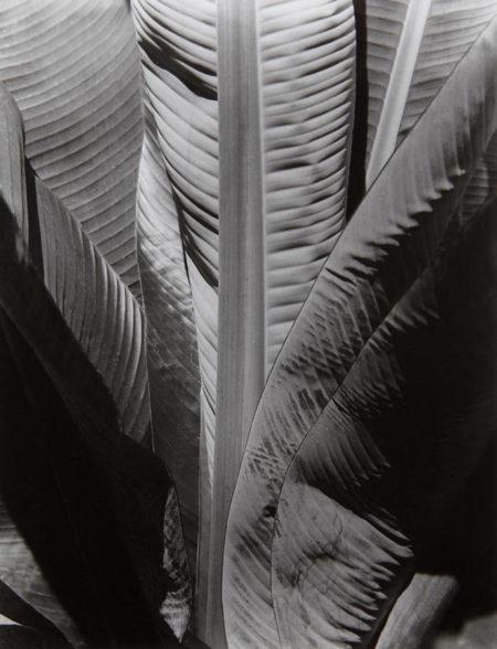 Imogen Cunningham-Banana Plant-1929