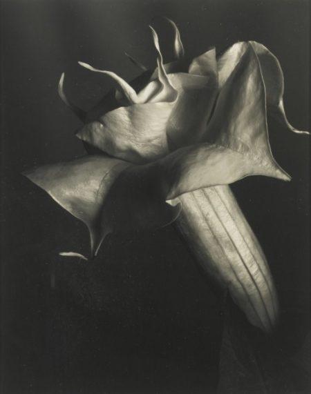 Imogen Cunningham-Datura (Brugmansia Candida)-1930