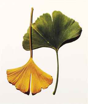 Irving Penn-Gingko Leaves, New York-1990