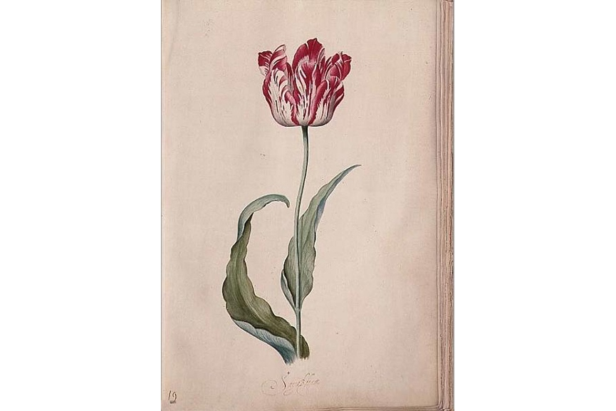 An original page out of her tulip book