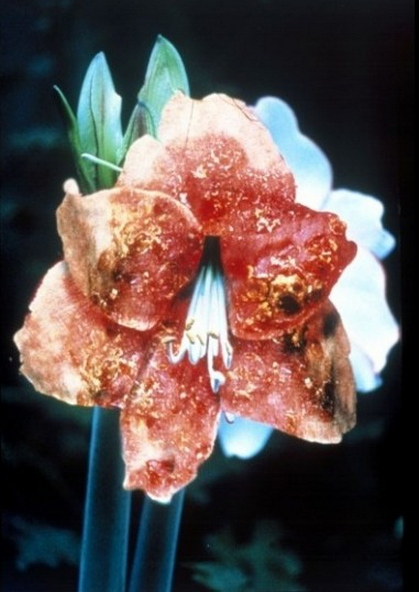 Mat Collishaw-Infectious Flowers (Intra Epidermal Carcinoma)-1996
