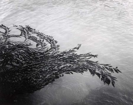 Floating Kelp, Point Lobos, California-1950