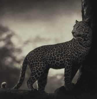 Nick Brandt-Leopard in Crook of Tree, Nakuru-2007