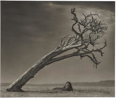 Nick Brandt-Lion under Leaning Tree, Maasai Mara-2008