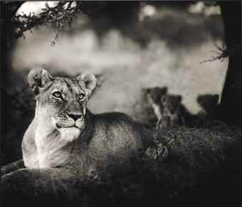 Nick Brandt-Lioness with Cubs Under Tree, Serengeti-2004