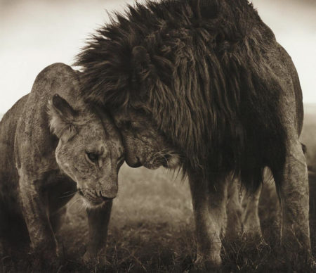 Nick Brandt-Lions Head to Head, Maasai Mara-2008