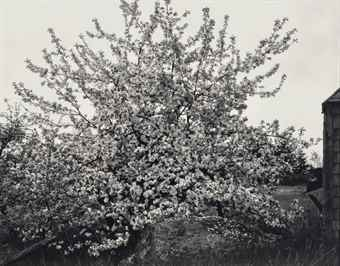Paul Strand-Apple Tree in Full Bloom, Maine-1946