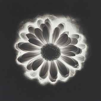 Robert Mapplethorpe-Gerber Daisy-1985