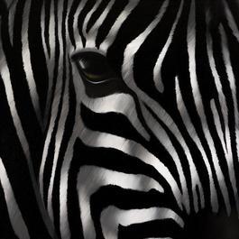 Zebra Seducteur