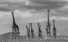 Giraffe City