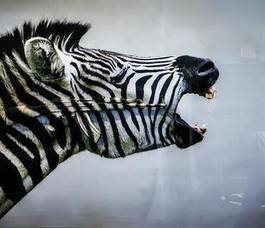 Screaming Zebra