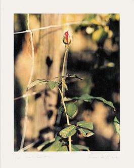 Rose, Winterthur, 1991
