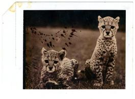 Orphaned Cheetah Cubs at Mweiga National Park Headquarters, 1968
