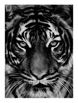 Untitled (Tiger)