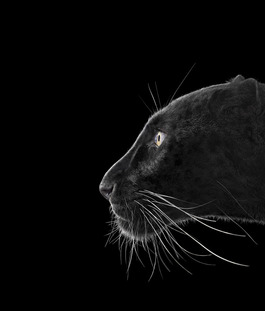 Black Leopard #2, Monterey, CA, 2014