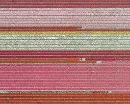 Aerial Views, Tulip Fields 05