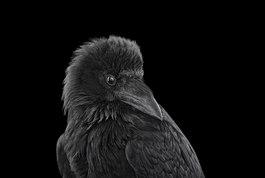 Raven #2, Albuquerque, NM, 2013