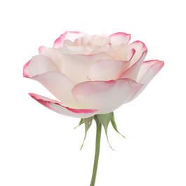 Offrande Rose 0077