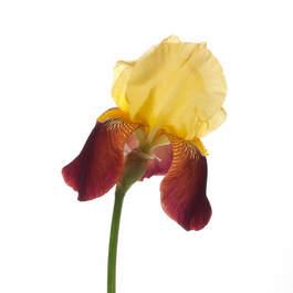 Offrande Iris 8597