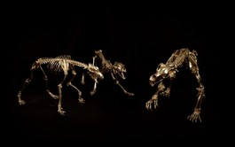 Kodiak brown Bear, grey Wolf skeletons