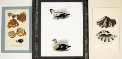 A Collection of 19th Century Bird and Shell Prints-