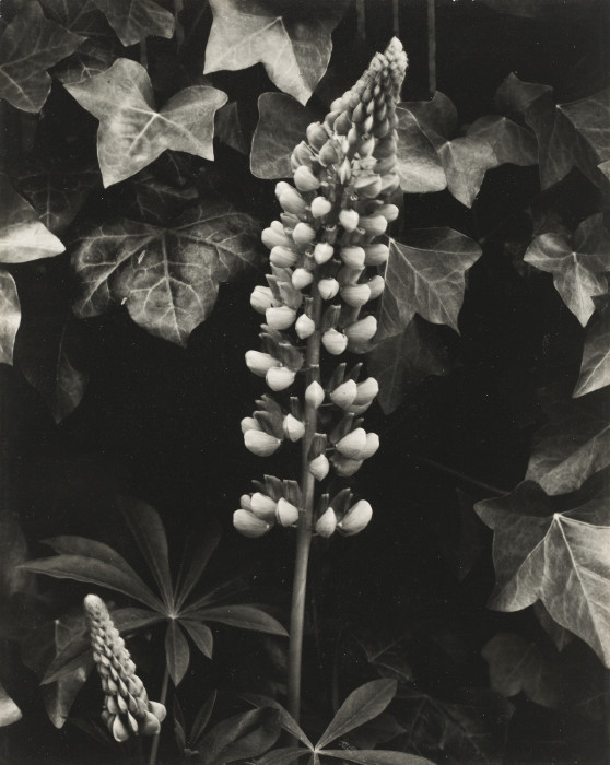 Paul Strand-Lupin, The Garden, Orgeval-1959