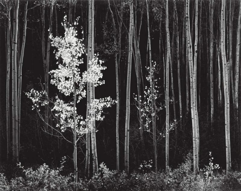 Ansel Adams-Aspens, Northern New Mexico-1958