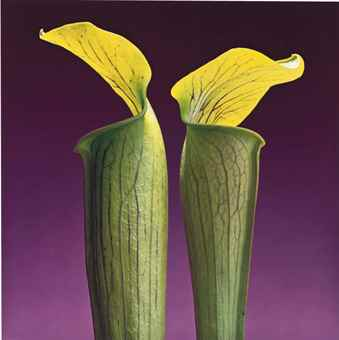 Robert Mapplethorpe-Double Jack-in-the-Pulpit-1988