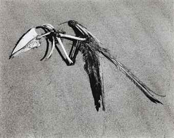 Edward Weston-Bird Skeleton, Oceano-1936