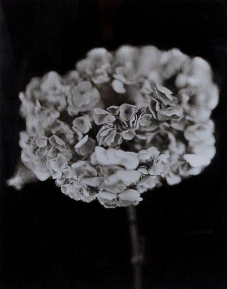 Chuck Close-Hydrangea-2007
