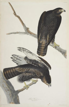 John James Audubon-After John James Audubon - Black Warrior (Pl. 86)-1830