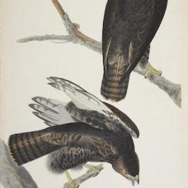 John James Audubon-After John James Audubon - Black Warrior (Pl. 86)-1830