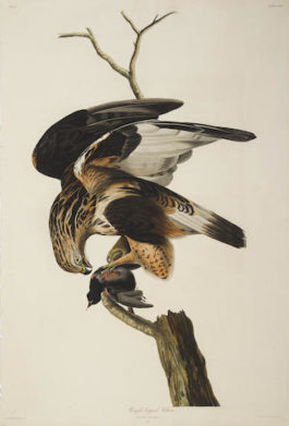 John James Audubon-After John James Audubon - Rough-legged Falcon (Pl. CXLVI)-1833