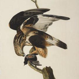 John James Audubon-After John James Audubon - Rough-legged Falcon (Pl. CXLVI)-1833