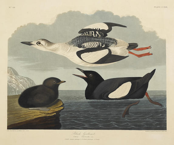 John James Audubon-After John James Audubon - Black Guillemot (Pl. CCXIX)-1834
