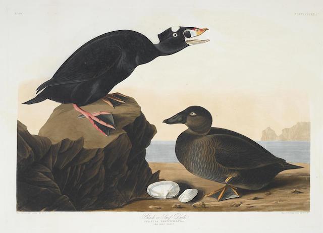John James Audubon-After John James Audubon - Black or Surf Duck (Pl. CCCXVII)-1836