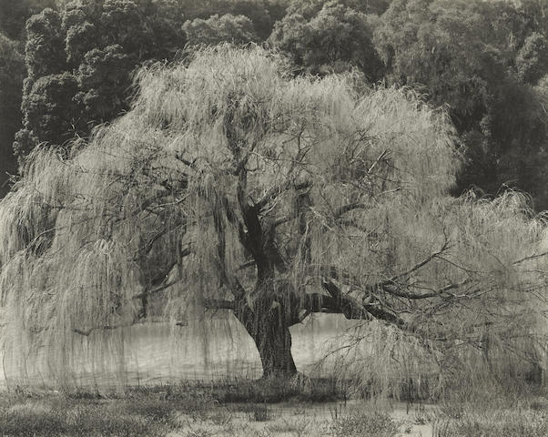 Edward Weston-Willow, Santa Cruz-1933