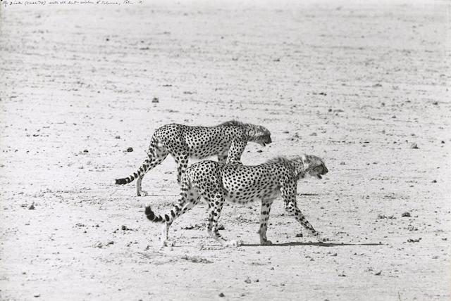 Peter Beard-Hunting Cheetahs on the Taru Desert, Kenya, June-1960
