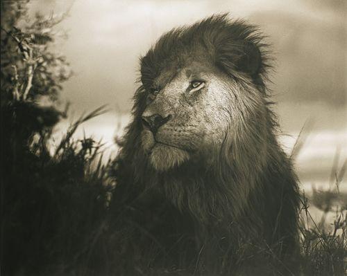 Nick Brandt-Lion In Shaft Of Light-2012
