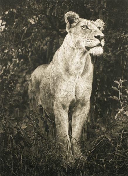 Nick Brandt-Lioness In Dark Foliage-2012