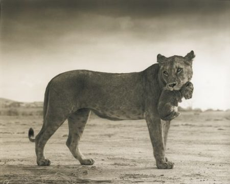 Nick Brandt-Lioness Holding Cub In Mouth, Masai Mara-2012