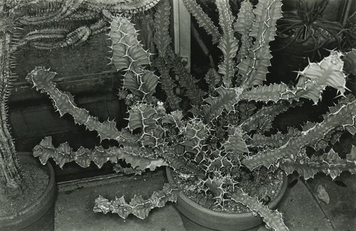 Lee Friedlander-Cactus, Brooklyn Botanical Garden-1973