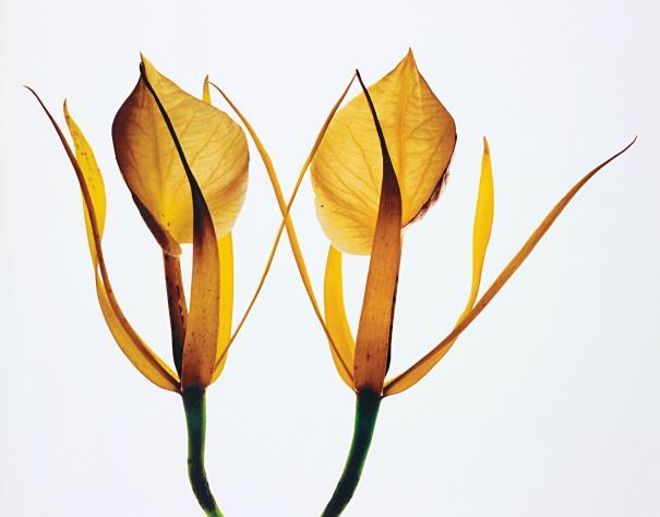 Irving Penn-Orchids: Brassavola Nodosa, New York-1969