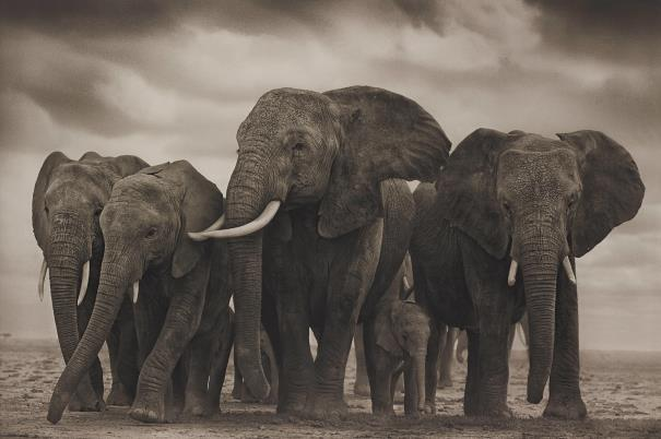 Nick Brandt-Elephant Five, Amboseli-2008