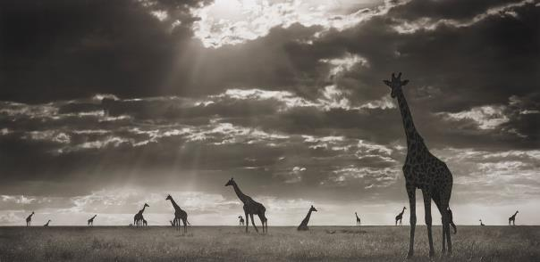 Nick Brandt-Giraffes In Evening Light, Maasai Mara-2006